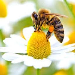 زنبور عسل2